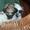 ши-тцу перспективный щенок. #45503