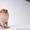Щенки померанского шпица .... #530520