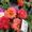 сурфиния- петуния-гацания-портулак умбратикола #602594