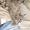 Отдам пушистых серых котят #674579
