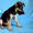 щенок Восточно-Европейской овчарки #681823