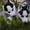 Малыши сибирский хаски КСУ. #816870