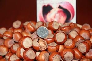 """Вегетативные саженцы фундука """"Трапезунд""""  - Изображение #2, Объявление #806210"""