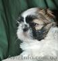 ши-тцу перспективный щенок. - Изображение #2, Объявление #45503