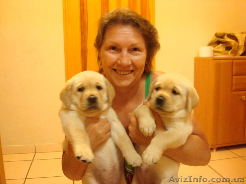 Продажа щенков лабрадора, симферополь
