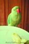 продам недорого ожерелового попугая