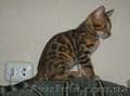 Бенгальские   котята.