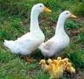 Продажа сельскохозяйственной птицы