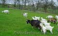 Продам козье молоко от зааненских коз