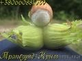Вегетативные саженцы фундука Керасунд Круглый