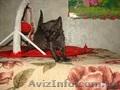 купить котенка неаллергенные кошки - Изображение #2, Объявление #1249548