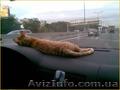 купить котенка неаллергенные кошки - Изображение #3, Объявление #1249548