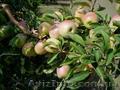 Продажа. Плодоносящий яблоневый сад в Крыму - Изображение #3, Объявление #1485090