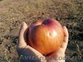 Продажа. Плодоносящий яблоневый сад в Крыму - Изображение #5, Объявление #1485090